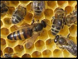 kafkas-arı-cinsi